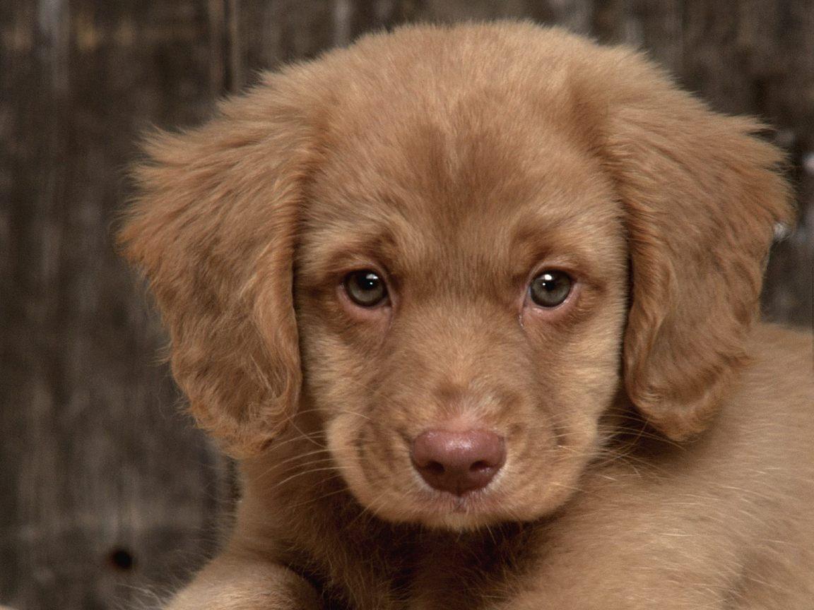 Cute Puppy Nova-Scotia...