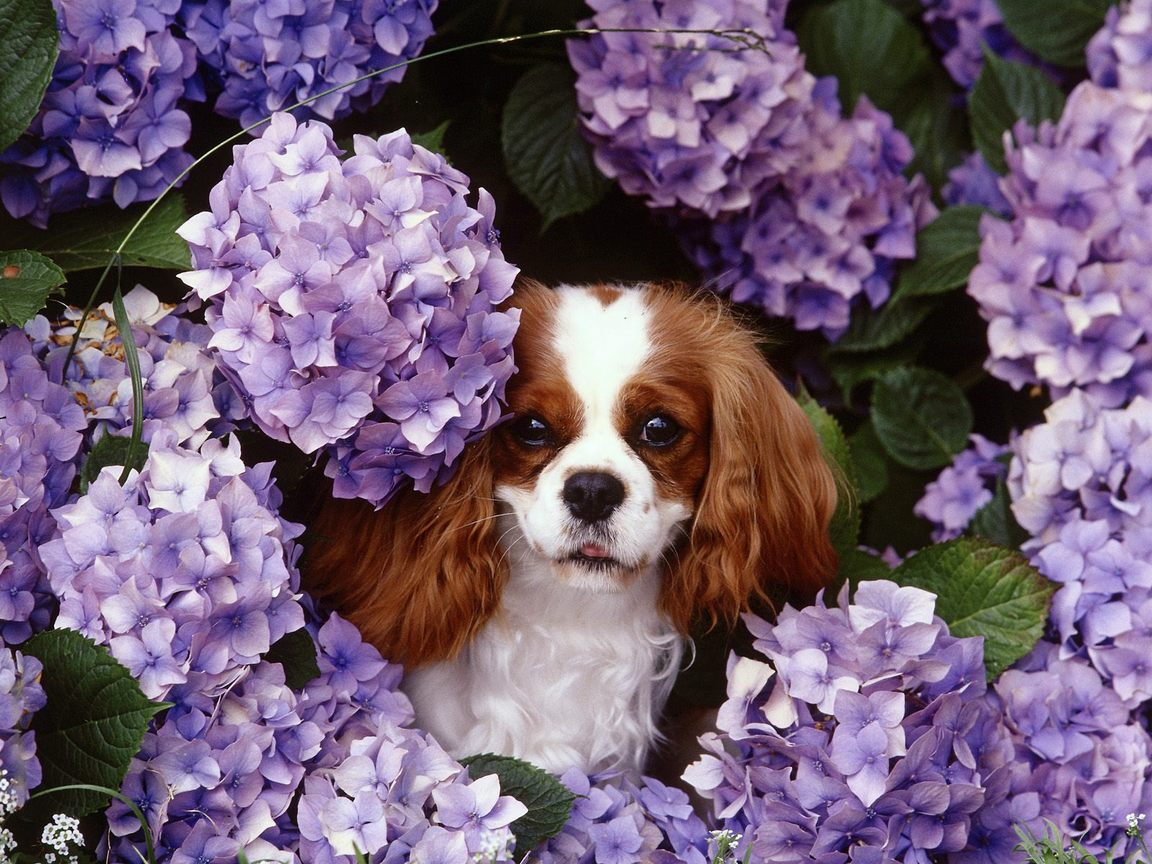 cavalier king charles spaniel puppy pictures