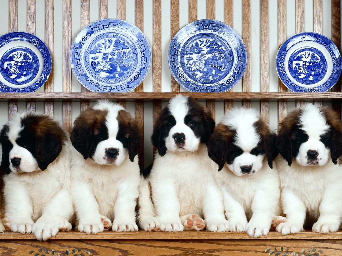 St-Bernard Puppies Wallpaper For Your Computer Desktop