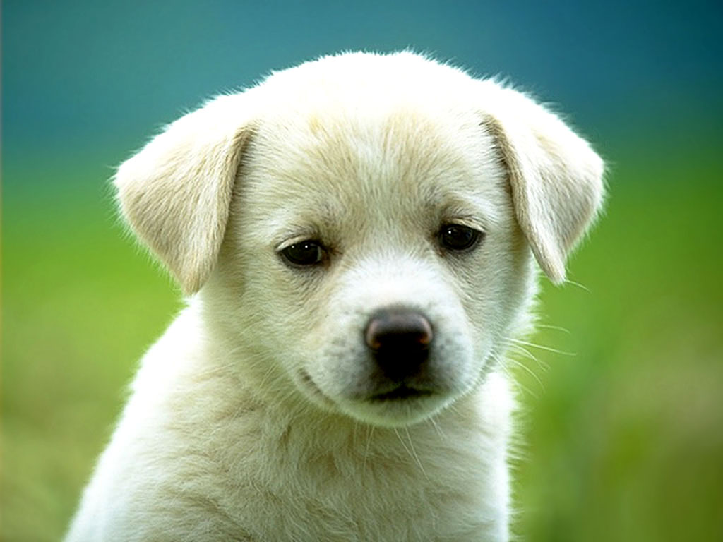 Cute little puppy dog Labrador Wallpaper for your Computer ...