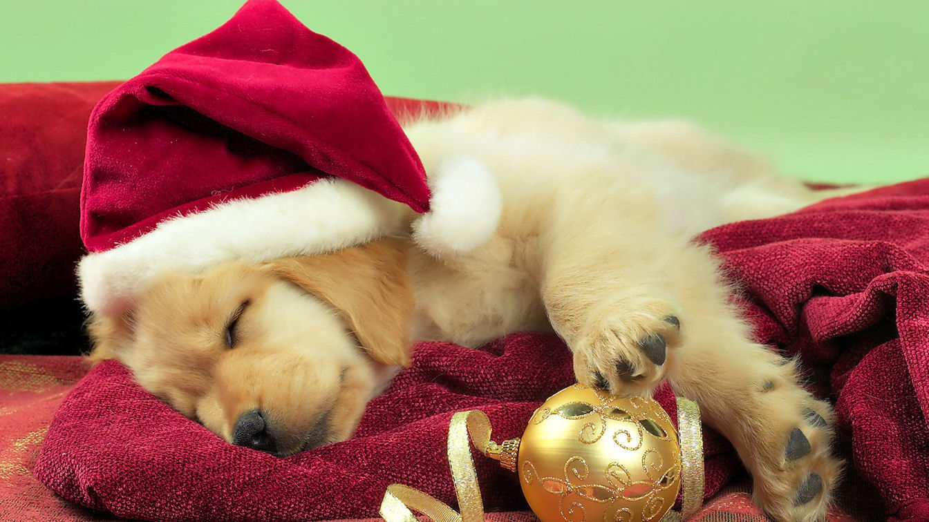 Christmas cute puppy golden retriever wallpaper for Pretty christmas pics