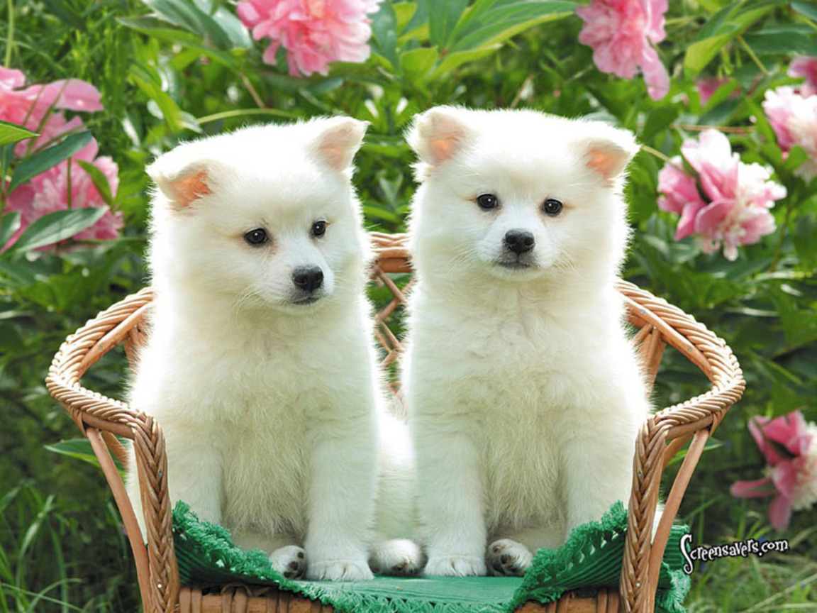 Cute Puppies American Eskimo Wallpaper