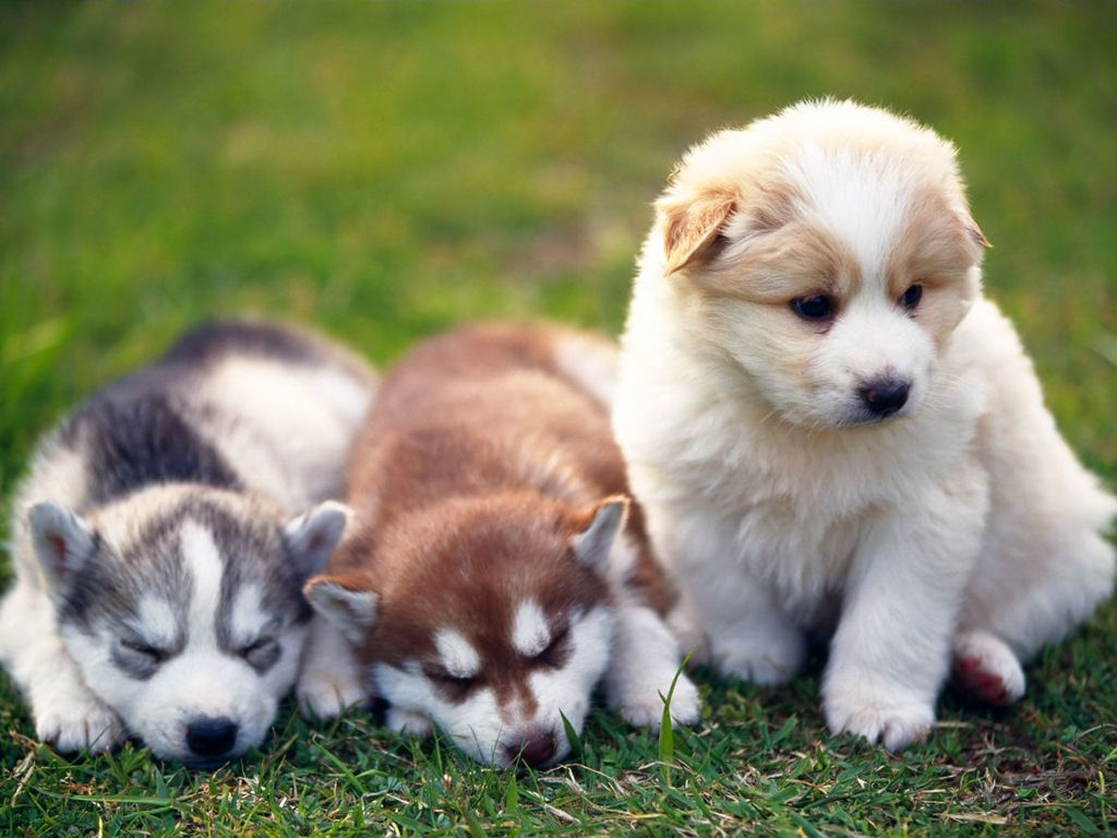 Husky Cute Puppies Wallpaper for your Computer Desktop