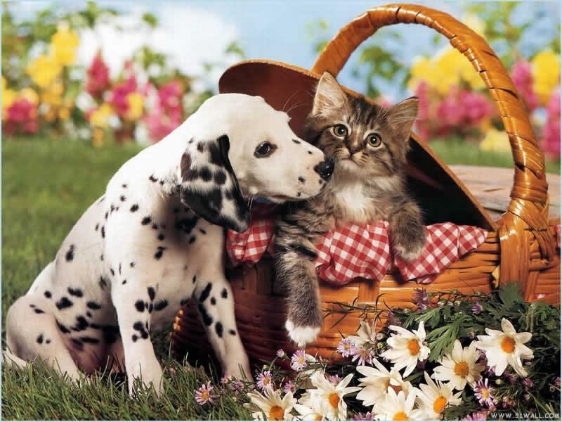 wallpaper cute puppy. Cute Puppy Dalmatian Wallpaper