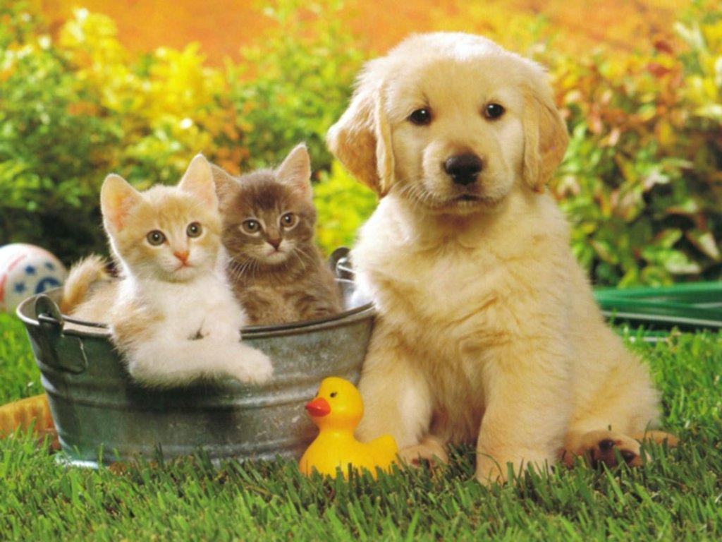 Cute Puppy Golden Retriever and cats Wallpaper
