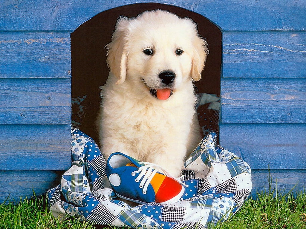 Golden Retriever Puppy Wallpaper for your Computer Desktop