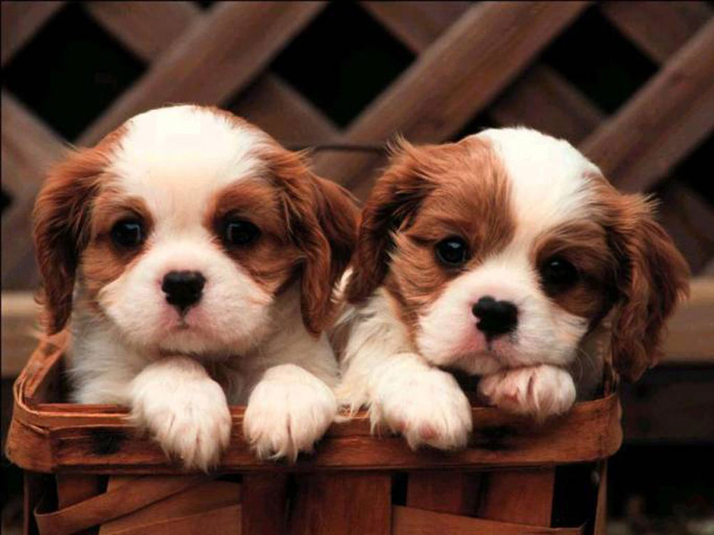 Cavalier King Charles Spaniel Cute Puppies Wallpaper
