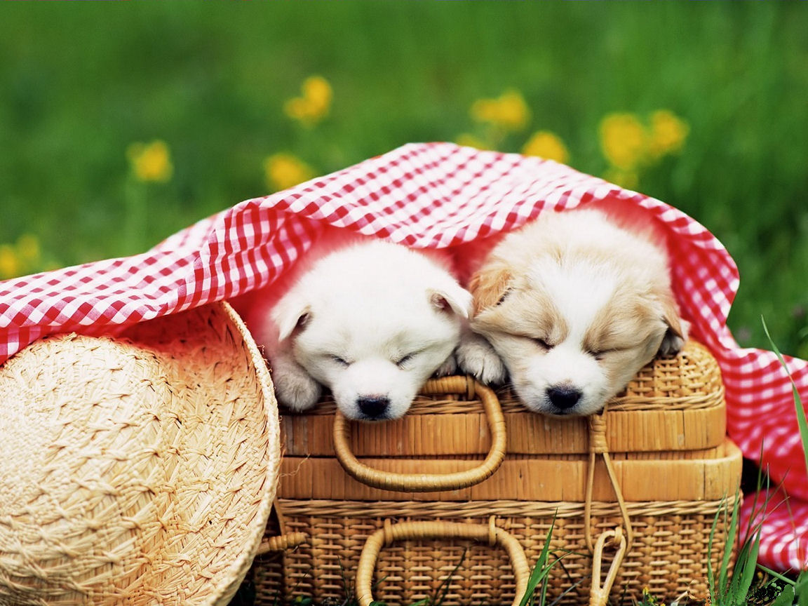 Cute Puppies Wallpapers Beautiful Dogs Wallpapers