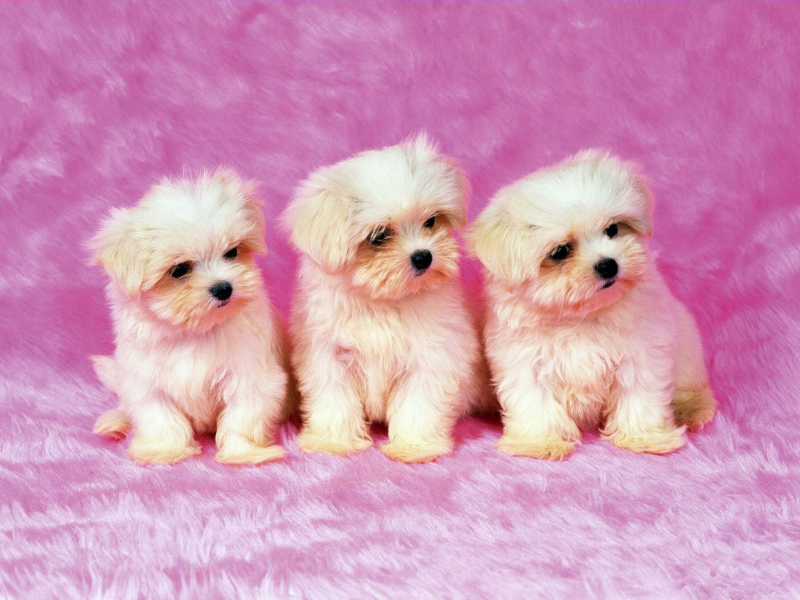cute shih tzu puppies wallpaper for your computer desktop - free