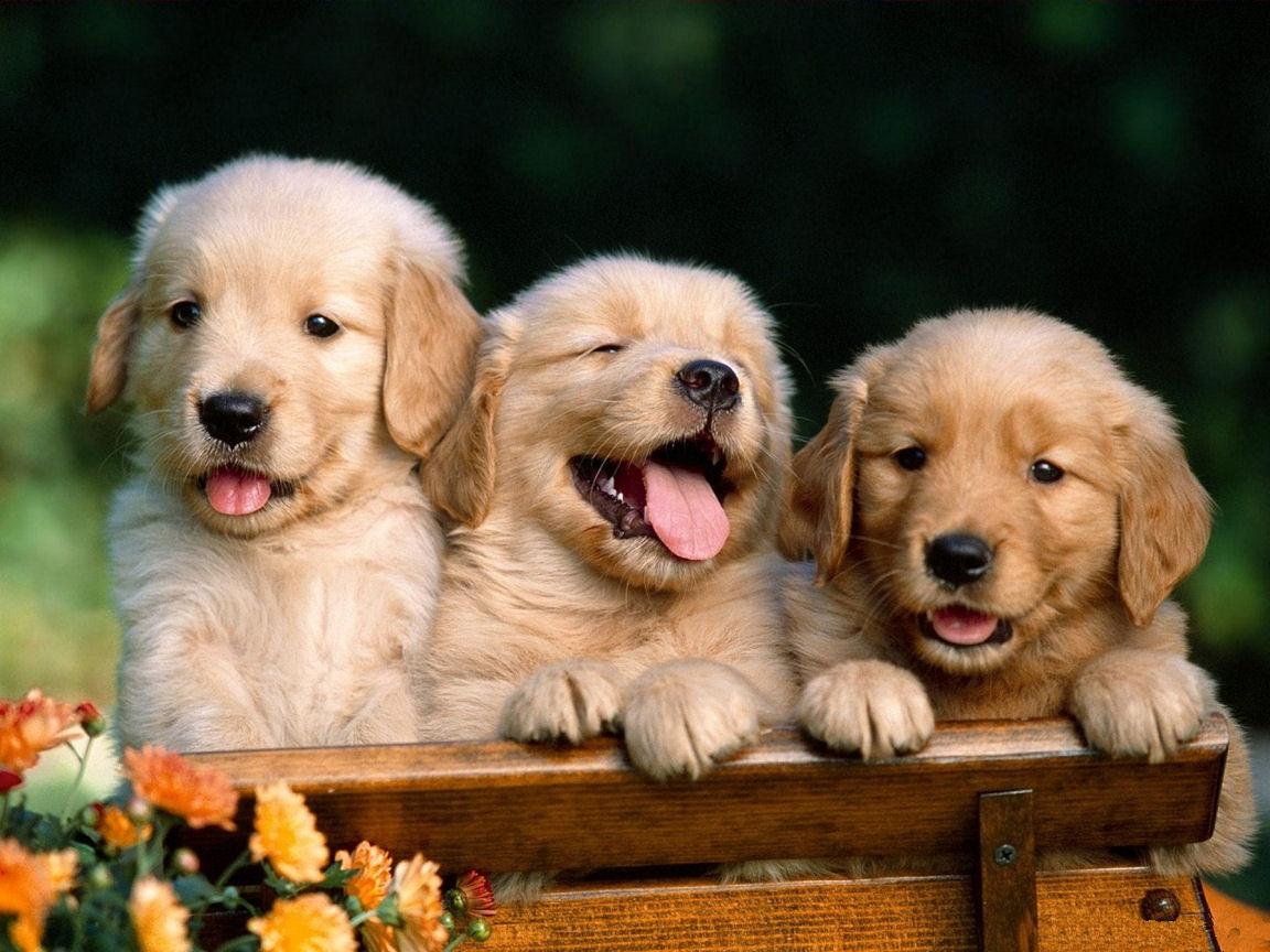 Cute Golden Retriever Puppies Wallpaper For Your Computer