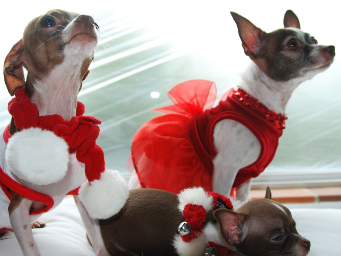 Cute Chihuahua Puppy Christmas Wallpapers